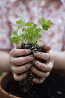 Girl planting parsley 11029012404| 写真素材・ストックフォト・画像・イラスト素材|アマナイメージズ
