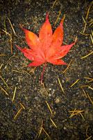 Autumn leaf 11029012649| 写真素材・ストックフォト・画像・イラスト素材|アマナイメージズ