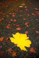 Autumn leaves 11029012650| 写真素材・ストックフォト・画像・イラスト素材|アマナイメージズ