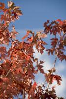 Autumn leaves on branch 11029014602| 写真素材・ストックフォト・画像・イラスト素材|アマナイメージズ