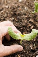 Person planting seedling in the ground 11029016634| 写真素材・ストックフォト・画像・イラスト素材|アマナイメージズ