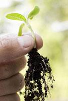 Person holding seedling and roots 11029016635| 写真素材・ストックフォト・画像・イラスト素材|アマナイメージズ