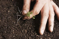 Hand removing sprouts from soil