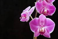 Close up of purple orchid