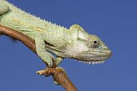 Natal Midlands Dwarf Chameleon 11030000616| 写真素材・ストックフォト・画像・イラスト素材|アマナイメージズ