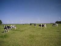 Cows and Wind Farm 11030002434| 写真素材・ストックフォト・画像・イラスト素材|アマナイメージズ