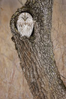 Ural Owl 11030002702  写真素材・ストックフォト・画像・イラスト素材 アマナイメージズ