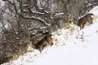 Sika Deer 11030002706| 写真素材・ストックフォト・画像・イラスト素材|アマナイメージズ