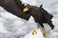 Stellers Sea Eagle on Ice Floe