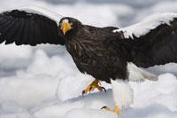 Stellers Sea Eagle on Ice Floe