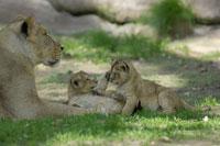 Mother Lion with Cubs 11030003319| 写真素材・ストックフォト・画像・イラスト素材|アマナイメージズ