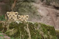 Lion Cubs Peeking Over Rock