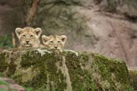 Lion Cubs Peeking Over Rock 11030003324| 写真素材・ストックフォト・画像・イラスト素材|アマナイメージズ