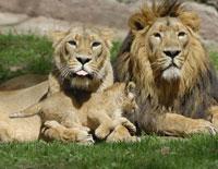 Portrait of Lion Family 11030003698| 写真素材・ストックフォト・画像・イラスト素材|アマナイメージズ