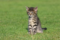 Portrait of Kitten 11030004372  写真素材・ストックフォト・画像・イラスト素材 アマナイメージズ