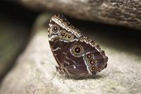 Shoemaker Butterfly 11030004385| 写真素材・ストックフォト・画像・イラスト素材|アマナイメージズ