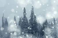 Snow Falling in Evergreen Forest