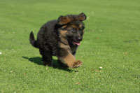 Puppy Running in Meadow