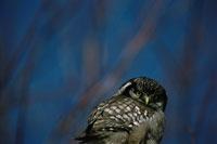 Hawk Owl Brossard
