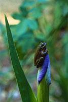 Green Tree Frog on Iris 11030005878| 写真素材・ストックフォト・画像・イラスト素材|アマナイメージズ