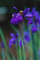 Green Tree Frog on Iris