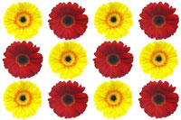 Red and yellow Gerbera Daisies