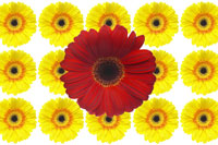 Yellow and Red Gerbera Daisies