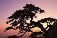 Huangshan Pine Tree 11030013559| 写真素材・ストックフォト・画像・イラスト素材|アマナイメージズ
