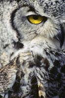 Eye of Great Horned Owl