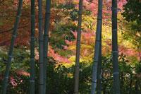 Bamboo and Autumn Leaves 11030021949| 写真素材・ストックフォト・画像・イラスト素材|アマナイメージズ