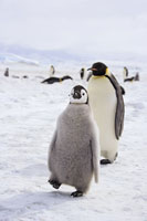 Emperor Penguin With Baby 11030022732| 写真素材・ストックフォト・画像・イラスト素材|アマナイメージズ