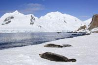 Weddell Seals 11030022796  写真素材・ストックフォト・画像・イラスト素材 アマナイメージズ