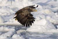 White-tailed Eagle in Flight 11030023712  写真素材・ストックフォト・画像・イラスト素材 アマナイメージズ