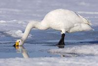Whooper Swan 11030023714  写真素材・ストックフォト・画像・イラスト素材 アマナイメージズ