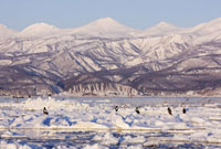 Steller's Sea Eagles and White- Tailed Eagles on Ice Floe 11030023718  写真素材・ストックフォト・画像・イラスト素材 アマナイメージズ