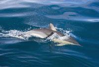 Dusky Dolphin 11030024084| 写真素材・ストックフォト・画像・イラスト素材|アマナイメージズ