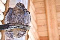 Stuffed Owl 11030025074  写真素材・ストックフォト・画像・イラスト素材 アマナイメージズ