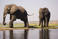 Bull Elephants at Chobe River,Botswana