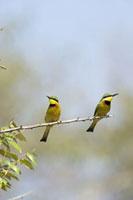 Bee-eaters Sitting on Branch,Masai Mara,Kenya
