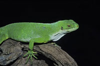 Close-up of Lizard 11030026155| 写真素材・ストックフォト・画像・イラスト素材|アマナイメージズ