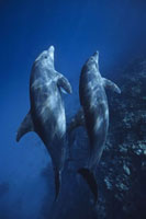 Dolphins,Safaga,Red Sea,Egypt