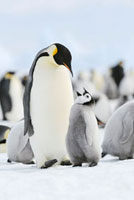 Emperor Penguins,Snow Hill Island