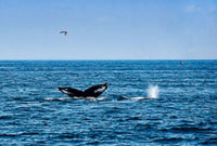 Humpback Whales�CStellwagen Bank
