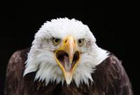Close-Up of Bald Eagle 11030026417| 写真素材・ストックフォト・画像・イラスト素材|アマナイメージズ