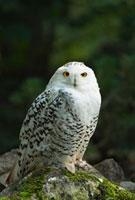 Snowy Owl 11030026635  写真素材・ストックフォト・画像・イラスト素材 アマナイメージズ