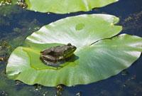 Bullfrog on Lily Pad,Moira River,Ontario,Canada 11030026655| 写真素材・ストックフォト・画像・イラスト素材|アマナイメージズ