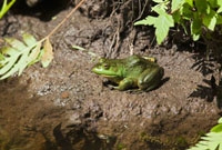 Bullfrog on Riverbank,Moira River,Ontario,Canada