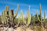 Cardon Cactus,Carmen Island, 11030027155  写真素材・ストックフォト・画像・イラスト素材 アマナイメージズ