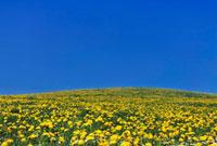 Dandelion Field,Bad Bayersoien,Garmisch-Partenkirchen 11030027283| 写真素材・ストックフォト・画像・イラスト素材|アマナイメージズ
