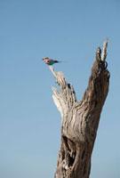 Lilac-Breasted Roller,Botswana 11030027529| 写真素材・ストックフォト・画像・イラスト素材|アマナイメージズ